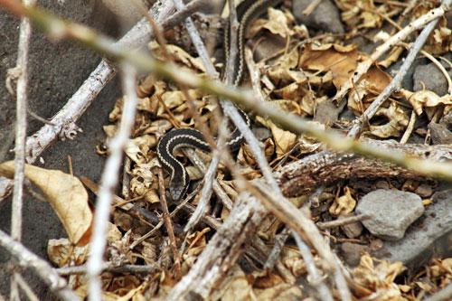 Alsophis snake slinks through the brush