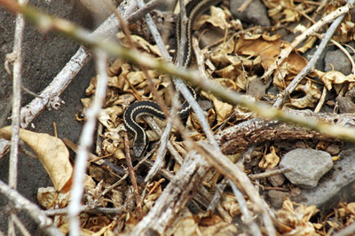 Alsophis snake slinks through the brush