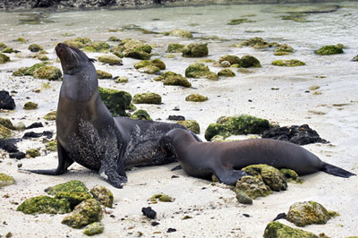 Slideshow - Galapagos Sea Lions 2011