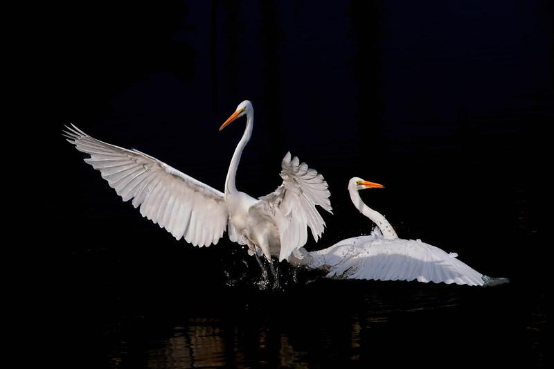 Moss Landing, Great Egret