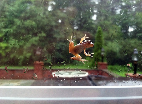 A tree frog clings to the window at Bill Farrell's Merrimack Valley home as Irene rolled in this morning.