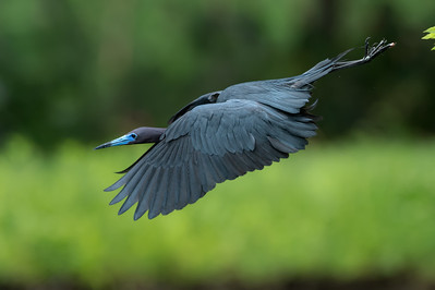 Little Blue Heron, Jefferson Island (LA), May 2016
