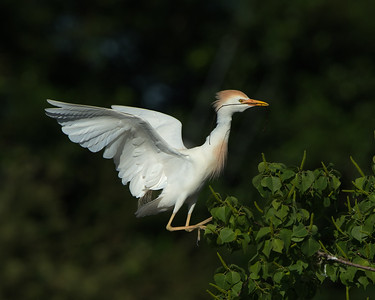 Cattle Egret, Jefferson Island (LA), May 2016