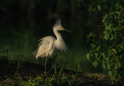 Snowy Egret, Jefferson Island (LA), May 2016