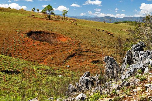 Cows graze near bomb crater from Vietnam War era