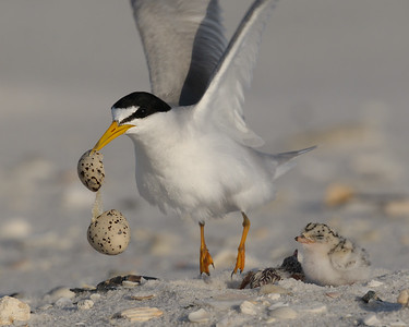 Least Tern, Ft. Pickens (FL), June 2010