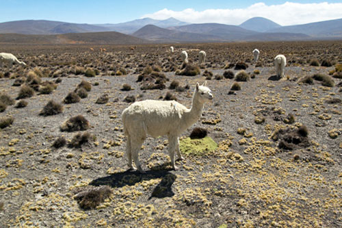 Alpacas grazing on a hillside on the way to Colca Canyon