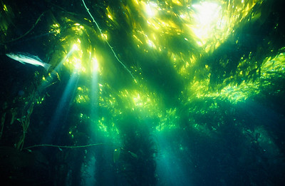 Light Beams in the Kelp Canopy