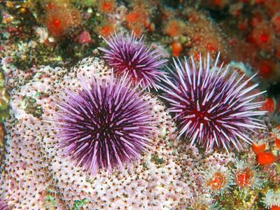 Purple urchin, Channel Islands Marine Sanctuary