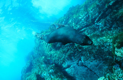 Guadalupe fur seal, Guadalupe Island, Baja, Mexico