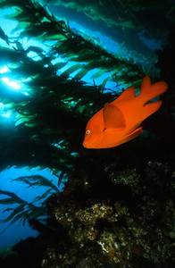 Garibaldi in Kelp, Channel Islands Marine Sanctuary