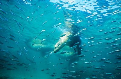California sea lion 6,  Sea of Cortez