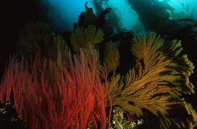 Red Gorganian & California Golden Gorganian, Channel Islands Marine Sanctuary