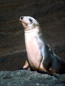 California sea lion 3, Guadalupe Island, Baja, Mexico