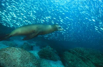 California sea lion 8,  Sea of Cortez