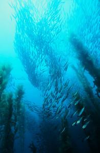 Mackerel in kelp, Channel Islands Marine Sanctuary