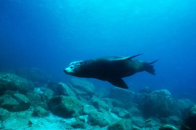 Bull California sea lion, Sea of Cortez, Mexico