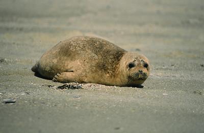 Harbor seal, Casa Cove, La Jolla, Ca.