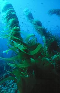 Giant Kelp, Channel Islands Marine Sanctuary