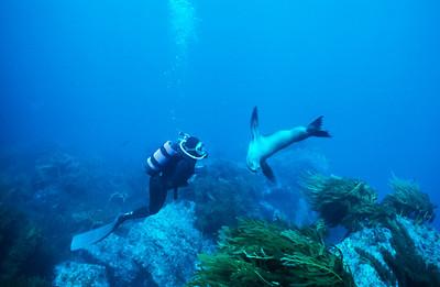California sea lion, Guadalupe Island, Baja, Mexico