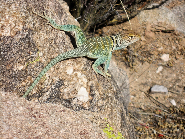 eastern collared lizard, Crotaphytus collaris (Iguanidae). Tucson, Pima Co. Arizona USA