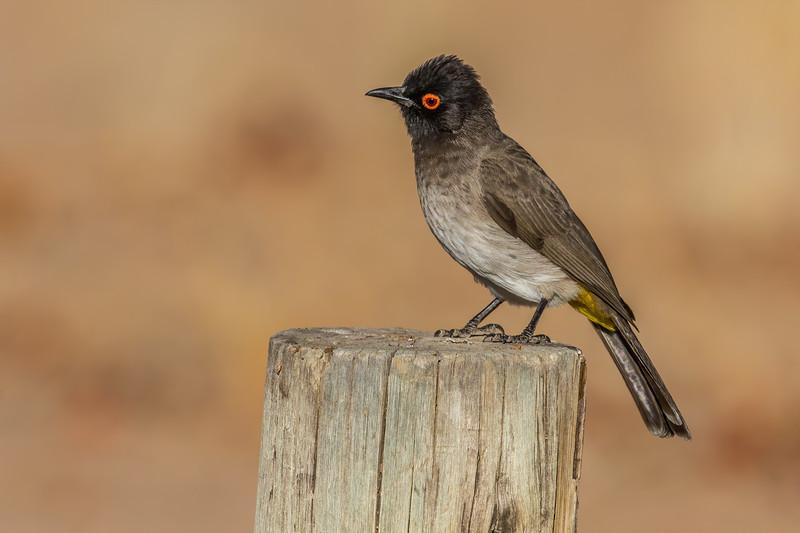 African red-eyed bulbul, <i>Pycnonotus nigricans</i> (Pycnonotidae, Passeriformes). Abu Huab, Kunene Namibia