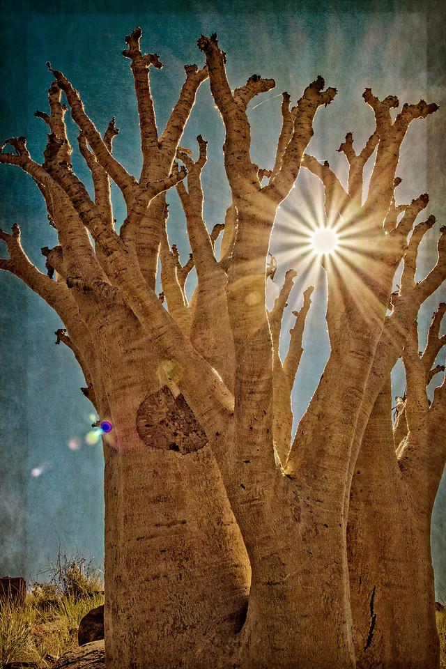 butter tree, <i>Cyphostemma currorii</i> (Vitaceae). Erongo Namibia
