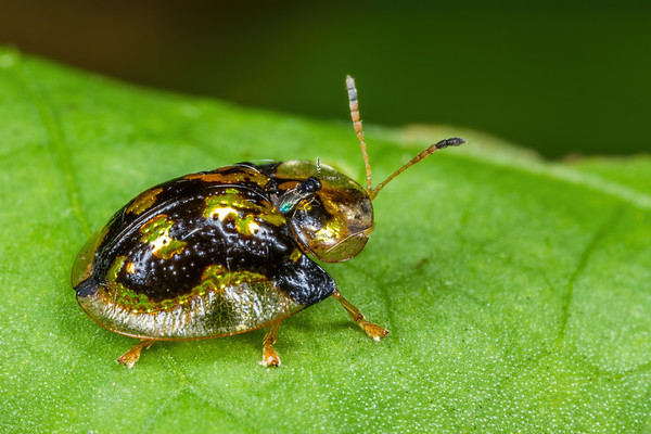 mottled tortoise beetle with Chalcid parasitoid, Deloyala guttata (Chrysomelidae). Spartanburg, South Carolina USA