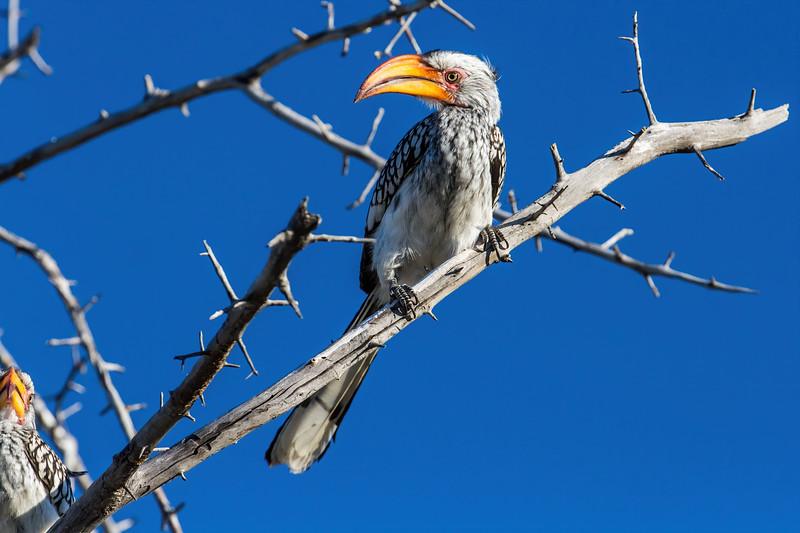 southern yellow-billed hornbill, <i>Tockus leucomelas</i> (Bucerotidae, Coraciiformes). Etosha N.P., Oshikota Namibia