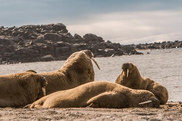 walrus, Odobenus rosmarus (Odobenidae). Kapp Lee Edgeoya, Svalbard, Norway