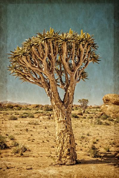 quiver tree, <i>Aloe dichotoma</i> (Xanthorrhoeaceae). Erongo Namibia