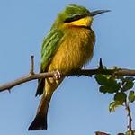 little bee-eater, <i>Merops pusillus</i> (Meropidae, Coraciiformes). Kwando, Kavango Namibia