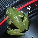 glass frog, <i>Teratohyla (Cochranella) midas</i> (Centrolenidae). Bigal River Biological Reserve, Orellana Ecuador