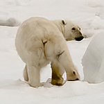 polar bear, <i>Ursus maritimus</i> (Ursidae). East of Barentsoya, Olgastretet, Svalbard Norway