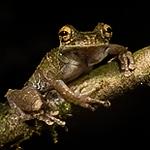 <i>Osteocephalus cabrerai</i> (Hylidae). EO Wilson trail, Shiripuno, Orellana Ecuador
