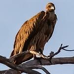 (African) white-backed vulture, <i>Gyps africanus</i> (Accipitridae, Accipitriformes). Khaudum N.P., Kavango Namibia