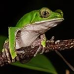white-lined monkey frog, <i>Phyllomedusa vaillanti</i> (Hylidae). Bates trail, Shiripuno, Orellana Ecuador