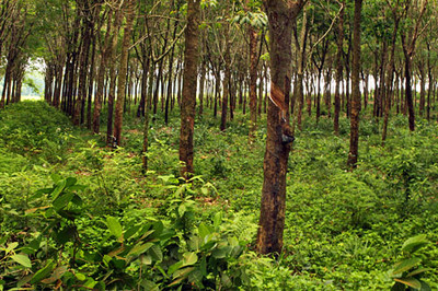 Rows of tapped rubber plants