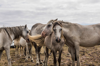 Wild Horses at South Gower