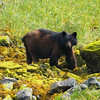 Mama - Black Bear - Taken at Yes Bay Lodge in SE Alaska. Photo taken with an Olympus E-500 DSLR with a 70-300 Zoom Lens.