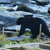 Black Bear - Taken at Neets Bay Hatchery near Yes Bay Lodge in SE Alaska. Photo taken with an Olympus E-500 DSLR with a 70-300 Zoom Lens.