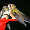 Hummingbirds - Taken at Yes Bay Lodge in SE Alaska. Photo taken with an Olympus E-500 DSLR with a 70-300 Zoom Lens.