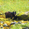 Mama and her Cubs - Black Bear family - Taken at Yes Bay Lodge in SE Alaska. Photo taken with an Olympus E-500 DSLR with a 70-300 Zoom Lens.