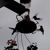 Feeding Hummingbirds. Photo taken with an Olympus E-500 DSLR with a 70-300 Zoom Lens.