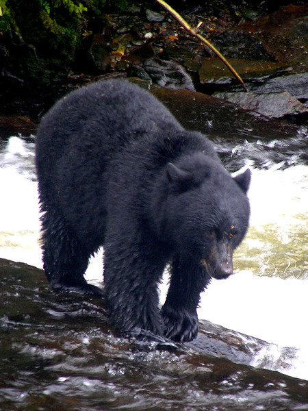 Neets Bay Hatchery - Alaska Black Bear - Taken with an Olympus C-765 Ultra Zoom camera.