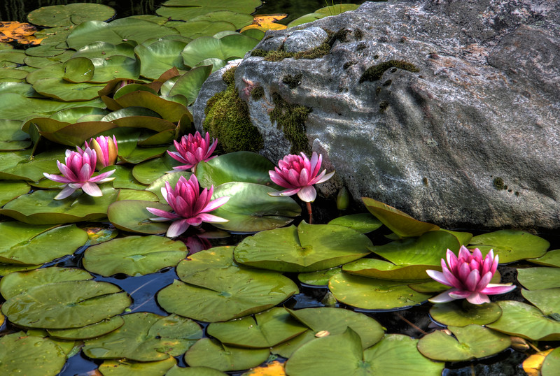 Japanese Water Lilies