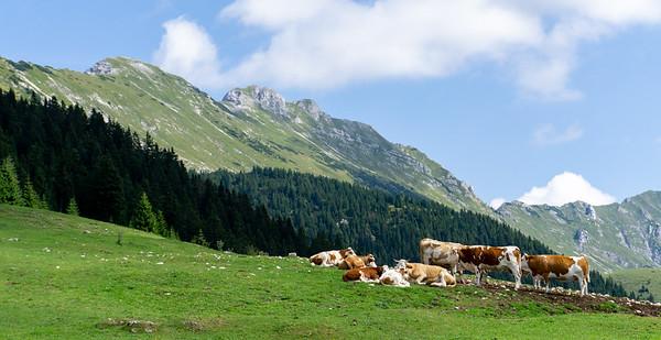 Cows and the Julian Alps, near Ljubljana