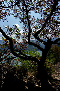 Tree overlooking Lake Bled
