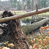 Trees toppled after they were pulled up by their rootsduring the long winter along the Shawsheen River. Photo by Mary Leach