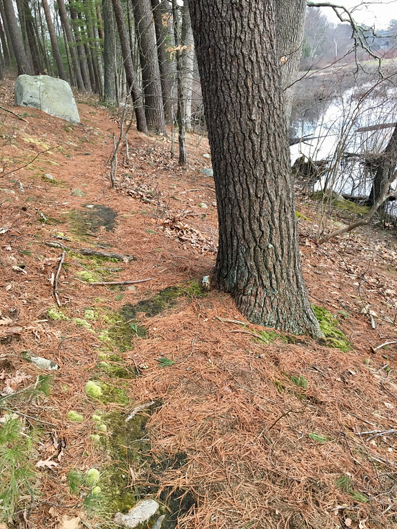 . Pine needles provided a soft carpet on a trail along the Shawsheen River in Billerica. Photo by Mary Leach